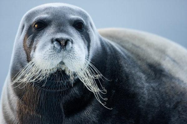 bearded-seal_1599259i